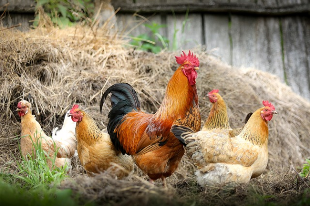 Baseload power source could be chicken feces